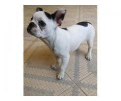 bulldog francez femela
